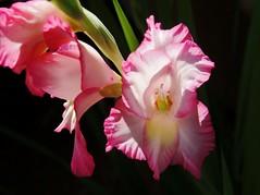 Gladiolus (1suncityboi) Tags: