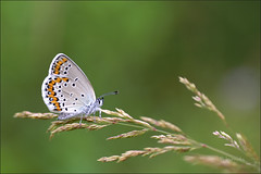 Azur des coronilles ... (Journ'obs...) Tags: ardennes papillon t insecte konicaminoltadynax5d boisdami azurdescoronilles