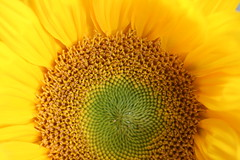 Sunflower Detail (shaire productions) Tags: summer plants plant macro nature leaves yellow garden photography photo leaf petals spring natural image outdoor picture pic petal photograph sunflower vegetation imagery