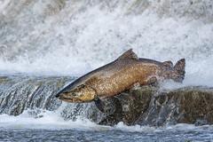 Salmon run (Phiddy1) Tags: ngc npc