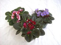 African Violet (agnurseries) Tags: plant flower african violet ionantha saintpaulia