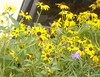"Black Eyed Susan • <a style=""font-size:0.8em;"" href=""http://www.flickr.com/photos/101656099@N05/9733562531/"" target=""_blank"">View on Flickr</a>"
