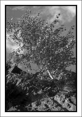 Birch on a cliff (Eirik0304) Tags: trees blackandwhite bw film monochrome norway clouds zeiss landscape norge hc110 exa fornebu tessar dilutionb classicblackwhite classicblackandwhite polypanf ©edrussellroberts bwfp