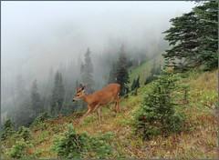 Do you love our National Parks? (edenseekr) Tags: deer olympics washingtonstate olympicnationalpark hurricaneridge