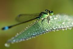 Razzle Dazzle Dew (Aaron M. Coyle) Tags: light leaf bokeh dew glimmer damselfly sunbathing razzledazzle raynoxdcr250 explore33 exploreoctober192013 aaronmcoyle