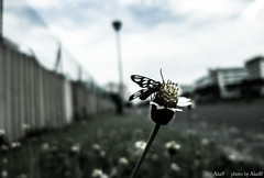 the Wild Mini Project #13 (Acaleo) Tags: flower macro nature insect photography photograph flies