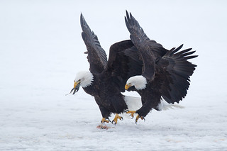 Bald Eagles - Chilkat Valley near Haines