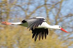 Ooievaar in vlucht (paulbunt60) Tags: inflight storch ooievaar