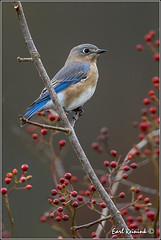 20131024-1871 (Earl Reinink) Tags: blue autumn ontario canada nature nikon flickr berries niagara earl bluebird redberries easternbluebird naturephotography nikond4 earlreinink reinink