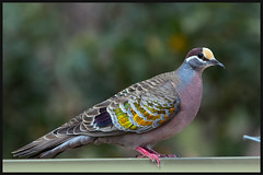 Common Bronzewing (RoosterMan64) Tags: commonbronzewing