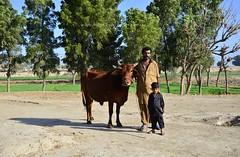 Happy family, Khudadad, Sindh (Ameer Hamza) Tags: family pakistan cow photojournalism son pakistani fatherandson familyportrait sindh hala ppa pakistaniphotographer ameerhamzaadhia khudabad ameerhamzaphotography