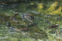 Battered Kings (Jared Hughey) Tags: wild fish nature animal alaska wildlife salmon run spawning kenaipeninsula confluence russianriver kenairiver chinooksalmon kingsalmon chugachnationalforest
