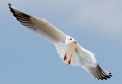 Gull (Osdu) Tags: world travel bird tourism nature animal gull uae flight sharjah unitedarabemirates avianexcellence blinkagain