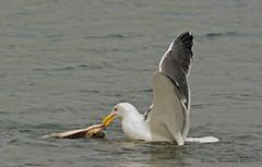 Gull Catches Manta Ray (Happy Photographer) Tags: ocean california dinner sandiego seagull pacificocean catch mantaray happyphotographer amyhudechek