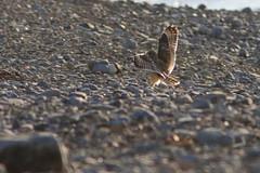 Jorduggla, 1/5-13 Ölands norra udde. (sparven1974) Tags: birds sweden natur sverige öland fåglar asioflammeus fågelskådning böda jorduggla ölandsnorraudde