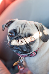 Noli (Andrew Callaci) Tags: light dog dogs animal photography photo eyes foto sandiego little photos picture pug andrew photograph canonef50mmf14usm andrewcallaci callaci