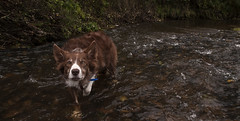 """""""For men may come and men may go, (A child in the night) Tags: red dog brook kira bordercollie moodyblues alfredtennyson dogofalifetime"""