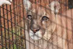 Cougar (Chicago John) Tags: world park cats oregon great junction cave cavejunction greatcatsworldpark {vision}:{outdoor}=0759