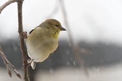 American Goldfinch (Melissa Penta) Tags: snow birds yard pa finch stroudsburg