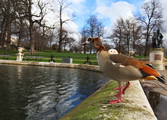 Territorial (Kevin Hughes 348) Tags: london display goose hydepark fowl waterbirds territory territorial egyptiangoose alopochenaegyptiacus geece alopochenaegyptiaca kevinhughes mygearandme egyptiangeece