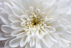 DSC_0079 - White  star (SWJuk) Tags: uk winter england white macro home closeup nikon lancashire chrysanthemum burnley 2014 d90 nikkor60mm nikond90 60mmmicrolens rawnef swjuk feb2014