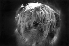 Woody (tomderry64) Tags: blackandwhite bw dog olympus 28 60mm microfourthirds mzuiko ringexcellence tripleringexcellence lumixgx7