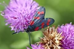 Seksflekket bloddråpesvermer Zygaena filipendulae (Eivind Nielsen) Tags: lepidoptera zygaena filipendulae bloddråpesvermer