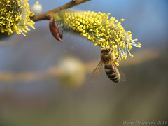 P3140921_1600px_Biene (Oliver Deisenroth) Tags: nature insect spring bee frühling raynox olympusstylus1