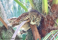 These Kids Are Wearing Me Out...... (Paul Hueber) Tags: bird nature animal orlando florida wildlife aves handheld orangecounty barredowl centralflorida strixvaria canonef100400mmf4556lisusm
