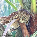 Barred Owl (Strix varia) - These Kids Are Wearing Me Out......