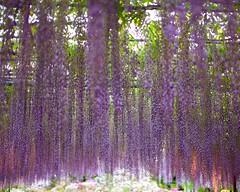 Wisteria story (Thomo13) Tags: park flowers flower japan vines fuji purple hanging wisteria ashikaga