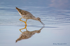 Greater Yellowlegs (Happy Photographer) Tags: reflection bird water spring colorado migration greateryellowlegs happyphotographer highlinelake amyhudechek