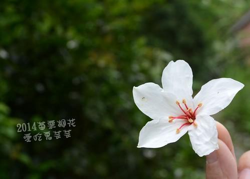 2014油桐花_038.jpg