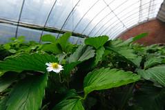DSC_9862 () Tags: china strawberry beijing strawberries   pick  nikond90 tokinaaf1228mmf4
