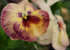 Viola #4 (MaureenAstrid) Tags: nature grunge viola vintagefeel macrophotograph violaflower grungedesigns