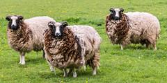 Sheep (Mark Hobbs@Chepstow) Tags: cameraphone camera dog wales train photography nikon ship d750 fullframe fx chepstow monmouthshire hgv d7100 markhobbs