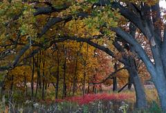 Wooden Rainbow (ggppix) Tags: autumn tree fall wisconsin foliage madison boundary whiteoak captureonepro edgeeffect danecounty quercusalba owenconservationpark fujifilmxpro1 garyglenprice fujinonxf18135f3556rlmoiswr