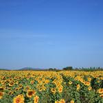 Field Sunflower & The Sky thumbnail
