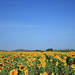 Field Sunflower & The Sky