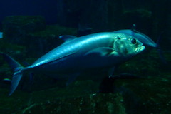 Aquarium de Paris  (26) (Mhln) Tags: paris aquarium requin poisson trocadero poissons meduse 2015 cineaqua