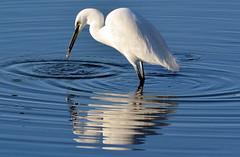 DSC_8003 Little Egret (jefflack Wildlife&Nature) Tags: nature birds wildlife wetlands waders avian waterbirds egrets littleegret wildbirds wwtllanelli