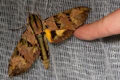 Eumorpha capronnieri (K. Zyskowski and Y. Bereshpolova) Tags: brazil sphingidae amazonas eumorpha yavari javari palmari capronnieri