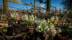 2015-02-06 Hodsock-0172.jpg (Elf Call) Tags: wood trees nikon snowdrops hodsock 18105 d5300