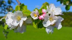 Apfelblte // Apple Blossom (Limfjordsporter & Shrimps) Tags: sky tree apple germany deutschland blossom outdoor hiking himmel blte baum apfel wandern appletree apfelbaum draussen apfelblte ebbel