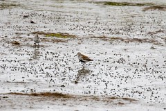 7K8A7486 (rpealit) Tags: b bird nature scenery wildlife national edwin dunlin forsythe refuge