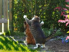 Playfighting (Finn Frode (DK)) Tags: pet cats animal cat garden denmark play outdoor rags olympus som somali mixedbreed somalicat bastian domesticshorthair omdem5 dusharatattersandrags