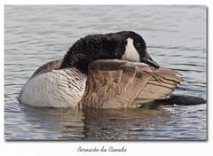 Bernache du Canada / Canada Goose 153A9379 (salmo52) Tags: birds geese goose danville canadagoose brantacanadensis oiseaux oies bernacheducanada tangburbank salmo52 alaincharette