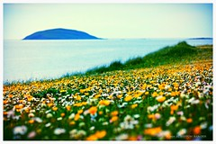 Machair, Eriskay (john&mairi) Tags: flowers sea seashells island sailing eddie outer gaelic boomerang crushed hebrides machair eriskay uists lingeigh fertileplain