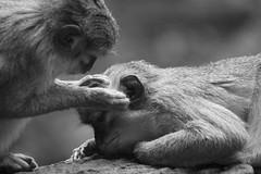 Preening (sophiehep) Tags: animal mammal monkey spain monkeys bioparc