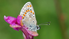 Common Blue 260516 (2) (Richard Collier - Wildlife and Travel Photography) Tags: macro wildlife butterflies insects naturalhistory british commonblue